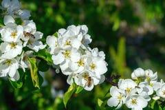 Ramas florecientes del peral salvaje con las abejas en las flores Foto de archivo