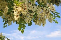 Ramas florecientes del robinia en luz del sol Foto de archivo libre de regalías