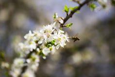 Ramas florecientes y abeja de la primavera blanca Fotos de archivo