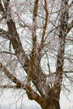 Ramas heladas en árbol Imagenes de archivo
