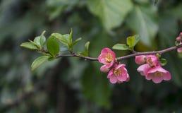 Ramas hermosas con el flor en primavera temprana Foto de archivo libre de regalías