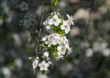 Ramas hermosas con el flor en primavera temprana Foto de archivo