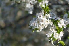 Ramas hermosas con el flor en primavera temprana Fotos de archivo libres de regalías