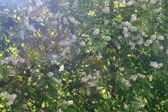 Ramas hermosas del árbol floreciente de la pájaro-cereza Fotografía de archivo
