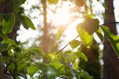 Ramas iluminadas por el sol y hojas en el bosque imágenes de archivo libres de regalías