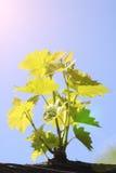 Ramas jovenes de uvas Imagen de archivo libre de regalías