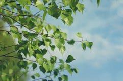 Ramas jovenes del abedul de la primavera contra el cielo Fotografía de archivo libre de regalías
