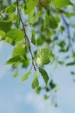 Ramas jovenes del abedul de la primavera contra el cielo Fotos de archivo