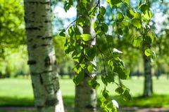 Ramas jovenes del abedul en la luz del sol Fondo verde del resorte Imagen de archivo libre de regalías