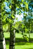 Ramas jovenes del abedul en la luz del sol Fondo verde del resorte Fotografía de archivo libre de regalías