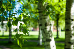 Ramas jovenes del abedul en la luz del sol Fondo verde del resorte Foto de archivo libre de regalías