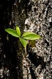 Ramas jovenes que crecen en árbol del tronco Foto de archivo libre de regalías
