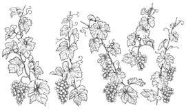 Ramas monocromáticas dibujadas mano de la uva ilustración del vector