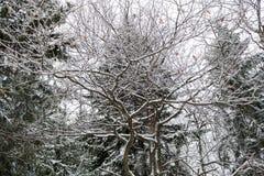 Ramas nevadas de un roble en el fondo de abetos Foto de archivo