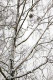 Ramas nevadas del árbol de abedul desnudo Fotos de archivo