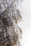 Ramas nevadas del abedul con las hojas amarillas Fotografía de archivo