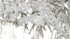 Ramas nevadas del abeto que se sacude en el viento, fondo borroso almacen de metraje de vídeo