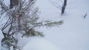 Ramas nevadas del pino en un parque del invierno en una nieve acumulada por la ventisca y una nieve que cae metrajes