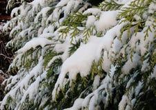 Ramas nevadas del thuja imperecedero en invierno Foto de archivo libre de regalías