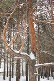 ramas Nieve-barridas Fotografía de archivo libre de regalías