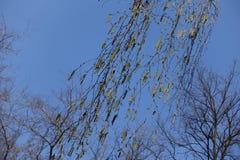 Ramas oscilantes del abedul con amentos contra el cielo Fotografía de archivo libre de regalías