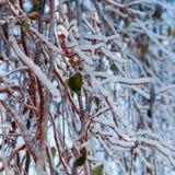 Ramas rojas congeladas Foto de archivo