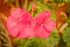 Ramas rojas de la flor foto de archivo libre de regalías