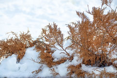 Ramas rojo marrón en la nieve Fotografía de archivo