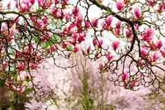 Ramas rosadas de la magnolia Fotografía de archivo