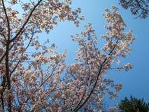 Ramas rosadas dulces de Sakura de la plena floración y árbol verde con el fondo del cielo azul el día de la sol Imágenes de archivo libres de regalías