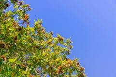Ramas Sativa del Castanea de las castañas dulces con las semillas maduras en las cáscaras de punta protectoras Foto de archivo
