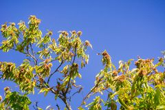 Ramas Sativa del Castanea de las castañas dulces con las semillas maduras en las cáscaras de punta protectoras Fotografía de archivo