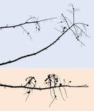 Ramas secas del pino Imagen de archivo libre de regalías