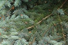 Ramas spruce azules en un fondo verde fotografía de archivo libre de regalías
