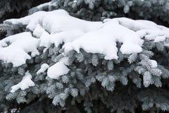 ramas spruce cubiertas con nieve Fotografía de archivo libre de regalías