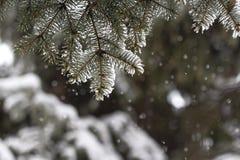 Ramas Spruce cubiertas con nieve Foto de archivo
