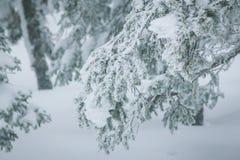 Ramas Spruce cubiertas con una capa de nieve Fotografía de archivo