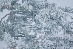 Ramas Spruce cubiertas con una capa de nieve Imagenes de archivo