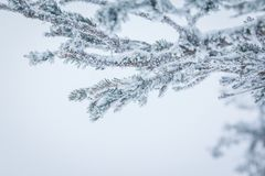 Ramas Spruce cubiertas con una capa de nieve Imágenes de archivo libres de regalías