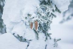 Ramas Spruce cubiertas con una capa de nieve Foto de archivo