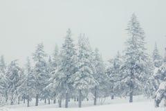 Ramas Spruce cubiertas con una capa de nieve Imagen de archivo libre de regalías