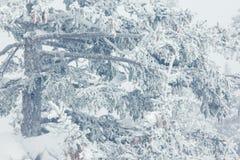 Ramas Spruce cubiertas con una capa de nieve Imagen de archivo