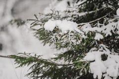 Ramas Spruce en la nieve Fotografía de archivo libre de regalías