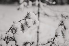 Ramas Spruce en la nieve Imagenes de archivo