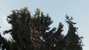 Ramas Spruce que agitan en un viento