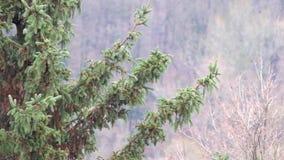 Ramas Spruce sacudidas levemente del viento almacen de video