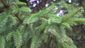 Ramas suculentas del verde de la picea que se sacuden en el viento en un día de verano metrajes