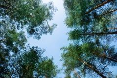Ramas superiores de los árboles de pino verdes en el bosque cerca de la costa báltica, St Petersburg Imagen de archivo libre de regalías
