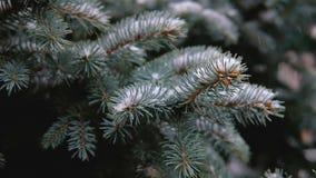 Ramas verdes de la picea, abeto debajo de la nieve Árbol imperecedero La primera nieve, otoño, primavera, invierno temprano Cámar metrajes
