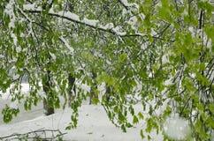 Ramas verdes de la primavera debajo de la nieve Imagenes de archivo